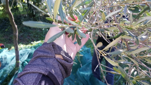 hand with olives